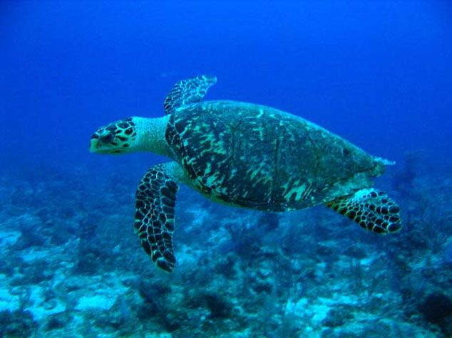 Sea Turtle in Utila